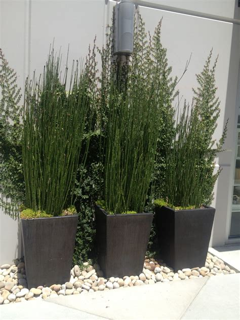 equisetum hyemale patio pinterest
