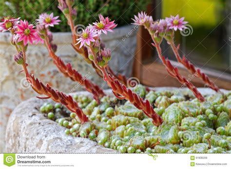 hens and flowers pictures pink flowers on hen and chicks stock photo image 61836209