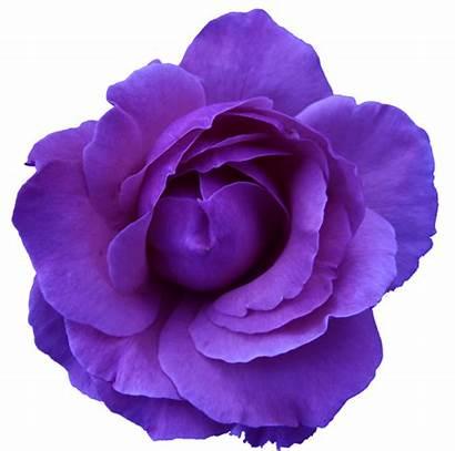 Rose Transparent Flower Purple Wild Clker Flowers