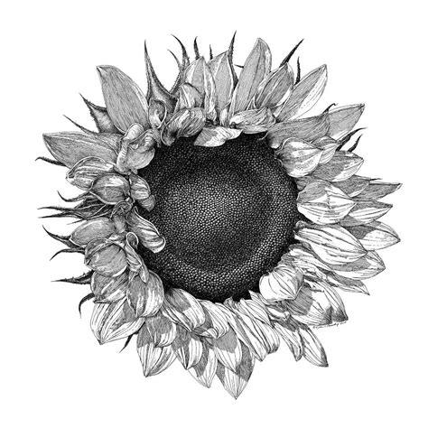 single sunflower drawing by william beauch