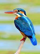 Common kingfisher - Wikipedia  Kingfisher