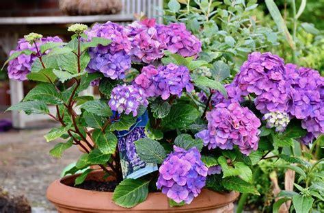 Topfpflanzen Für Den Garten by Juli Topfpflanzen Hortensien Endless Summer Franks
