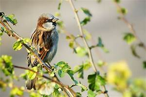 House Sparrow Identification Diagrams