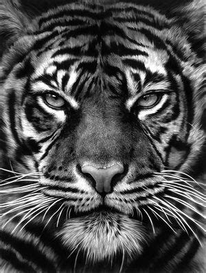 Animality review – perfectly beastly | Tiger face tattoo, Tiger photography, Tiger tattoo