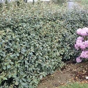 Plantes à Feuillage Persistant : les 25 meilleures id es de la cat gorie haie feuillage ~ Premium-room.com Idées de Décoration