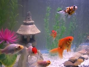 Optimale Aquarium Temperatur : the top 5 best pet fish of all time freshwater 2018 stickpets ~ Yasmunasinghe.com Haus und Dekorationen