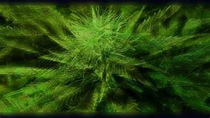 Marijuana Cannabis Wallpapers Resolution