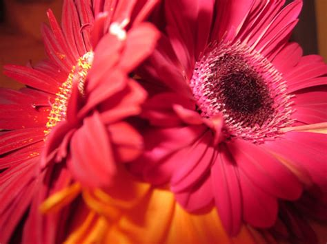 red gerberas  stock photo public domain pictures