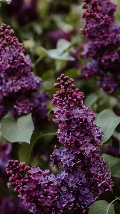 Lilac Bushes Flowers Leaves Parallax 6s Iphone