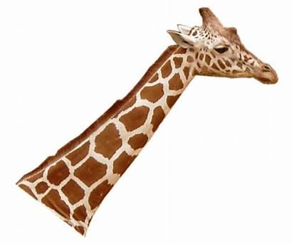 Animal Giraffes Giraffe Blick Rechts Commons Height
