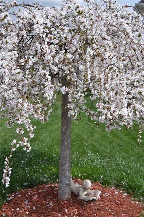 weeping cherry tree losing leaves 100 best images about weep for me on pinterest