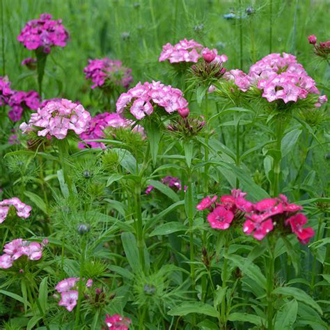 Sweet William Seeds (Dianthus barbatus)