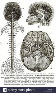 Download This Stock Image  Nervous System Spinal Cord