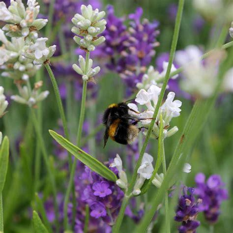white lavender plants lavender plants lavandula intermedia provence provence french lavender view larger image