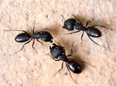 carpenter ants identifying carpenter ants