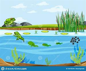 Frog Life Cycle Diagram Stock Vector  Illustration Of