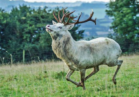 red deer appearance wildlife
