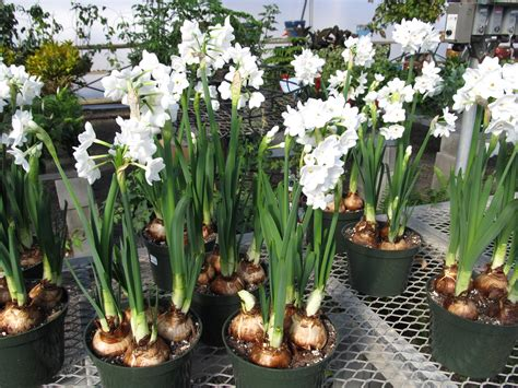 get past the winter blahs with paperwhite narcissus what
