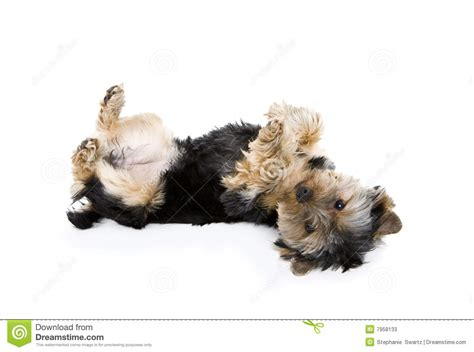 yorkie playing dead stock image image  black play