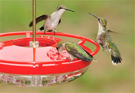 birds unlimited hummingbird feeder birds unlimited hummingbird feeding is most