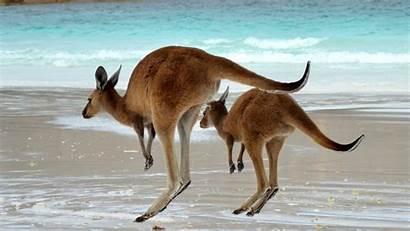 Kangaroo Wallpapers Kangaroos Backgrounds Australian Iphone Animal