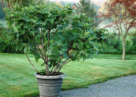 planting fig trees in pots just figs