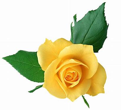 Yellow Rose Clipart Clip Cliparts