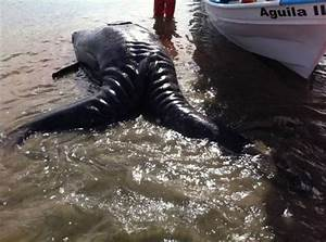 First Ever(?) Conjoined Twin Gray Whales Wash Up in Mexico ...