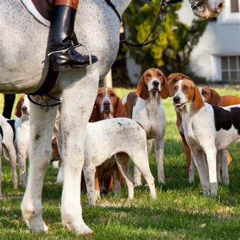 foxhound american fox puppy animaroo dog puppies dogs hound breeds found hunting english