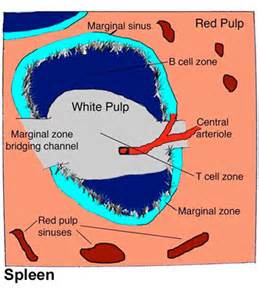 Spleen Function and Structure