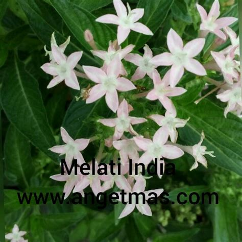 gambar tegal ekspor bunga melati indovasi gambar batik