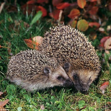 Why Hedgehogs Love City Living  Daily Mail Online
