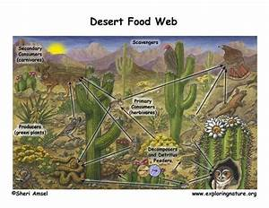 Here U0026 39 S An Example Of A Desert Food Web