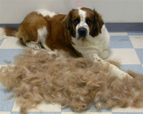shedding much these 12 dogs shed so much that entire new dogs were