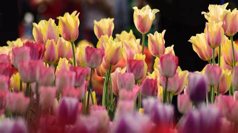 tulips flowers  colors bright pink  light yellow