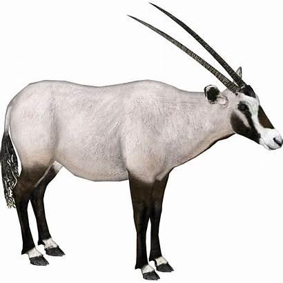 Oryx Arabian Dragon