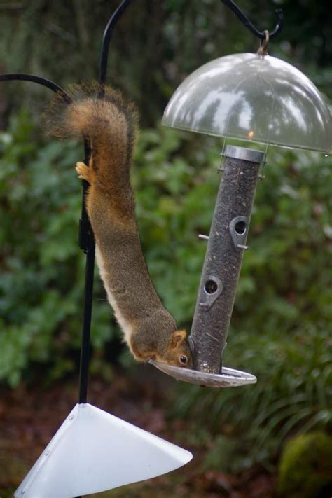 25 best ideas about squirrel baffle on pinterest