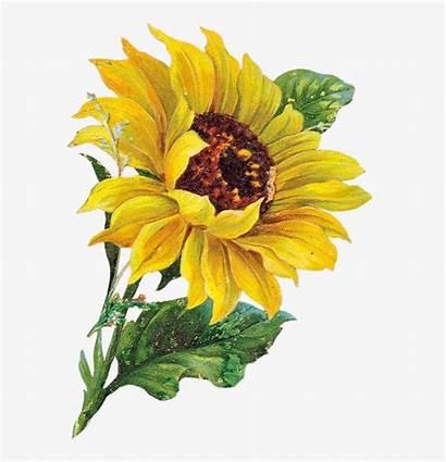 Sunflower Watercolor Clip Clipart Flower Tournesol Transparent