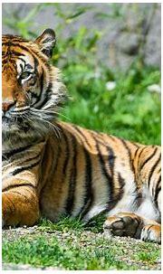 Sumatran Tigress 4K HD wallpaper