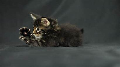 Cat Wallpapers Crazy Cats Tabby Brown Awesome