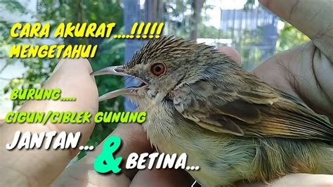 Burung falk muda jantan dan betina memang terlihat sama, sehingga cukup sulit untuk membedakan jantan dan betina. Menakjubkan 30+ Gambar Burung Ciblek Jantan Dan Betina ...