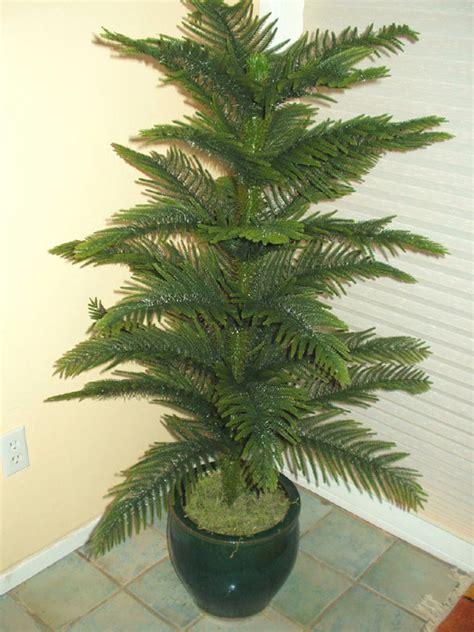 care   norfolk pine plant