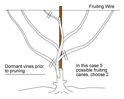 how to prune grape vines cane pruned grape vines for crafts