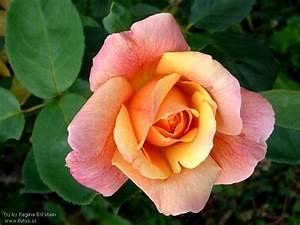 Garten Blumen Bilder : garten blumen rosen ~ Whattoseeinmadrid.com Haus und Dekorationen