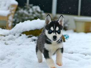 Cute Husky Puppies With Blue Eyes In Snow - wallpaper ...