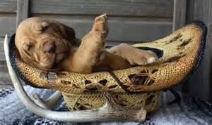 Red Bloodhound Puppy