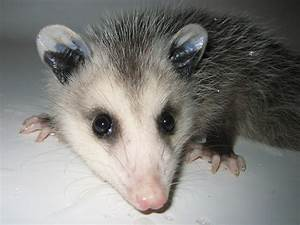Cute Baby Opossum Photos - Possum Photographs Pictures ...