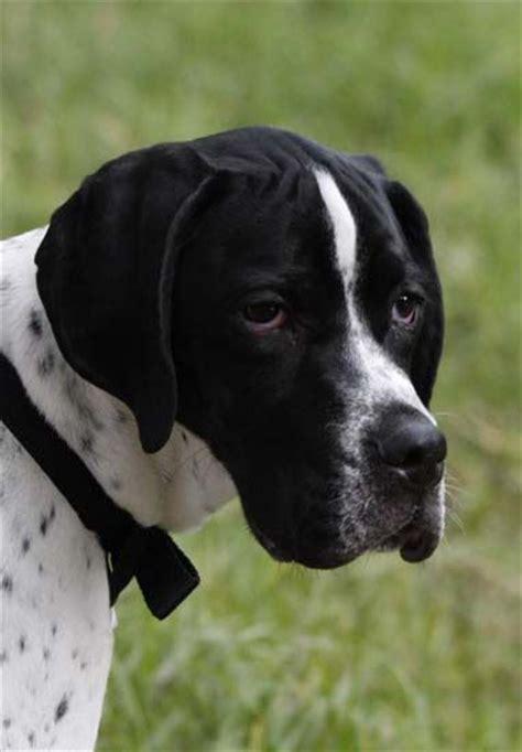 pin  drawdogscom  english pointer dog art portraits