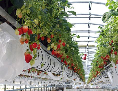fraisiers en pots suspendus la fertilisation des fraisiers remontants au jardin forum de jardinage