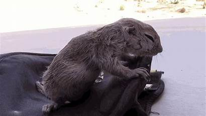 Animal Squirrel Animals Pool Cpr Gifs Guy